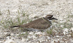 [Killdeer]