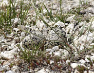 [Killdeer Eggs]