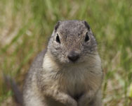 [Richardson's Ground-Squirrel]