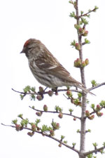 [Common Redpoll]
