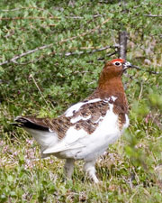 [Willow Ptarmigan]