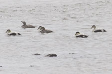 [Common Eiders]