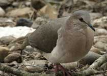 [White-tipped Dove]